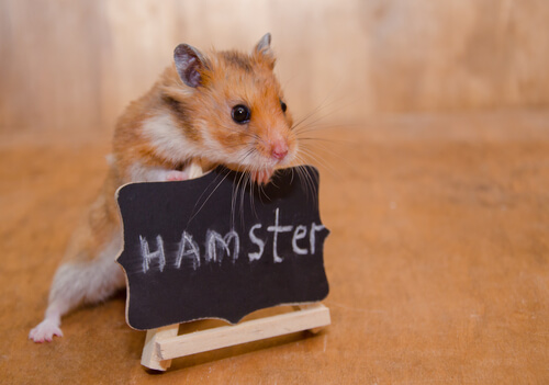 ¿Cómo domesticar a los hámsters?