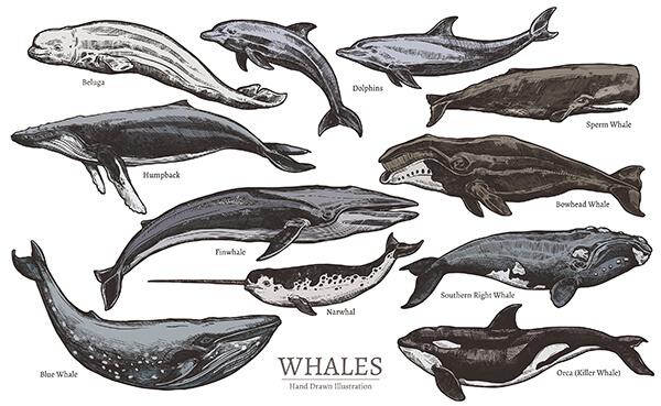 ¿Cómo se clasifican los cetáceos y cuáles son?