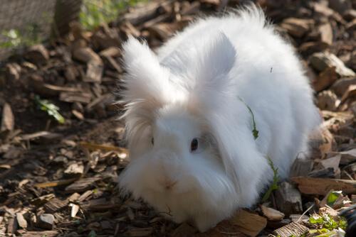 Conejo enano angora en el jardín