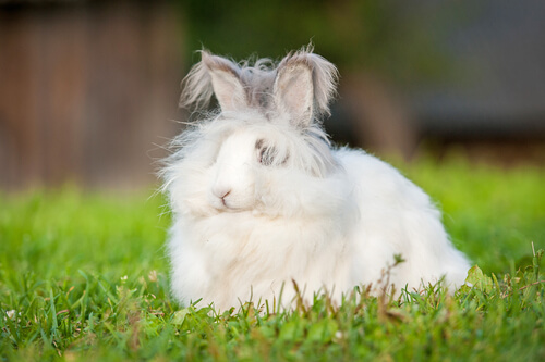 An angora dwarf rabbit sitting in the grass.
