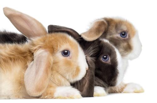 Conejo ram: características