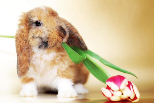 Conejo ram: cuidados