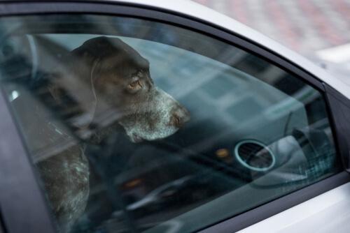 Dejar a las mascotas en los autos puede ser un problema letal