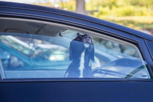 Оставить домашних животных в автомобилях может быть смертельной проблемой