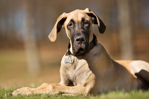 Displasia de cadera canina: síntomas
