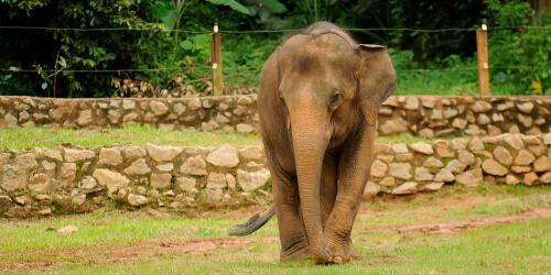 Elefante pigmeo de Borneo