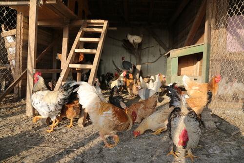 ¿Cómo elegir el gallinero perfecto para tus gallinas?