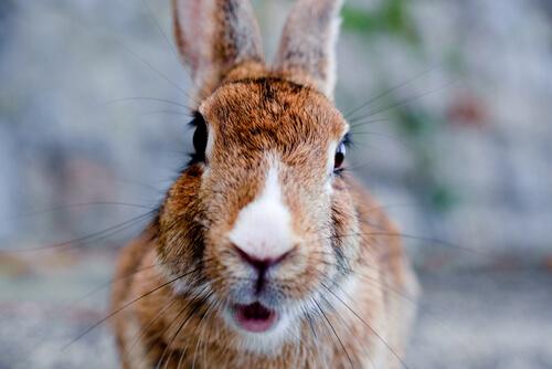 ¿Qué es el embarazo nervioso en conejos?