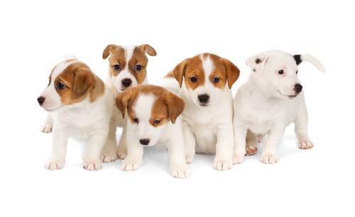 Endogamia canina