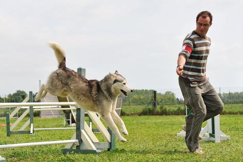 Entrenamiento de la agilidad canina