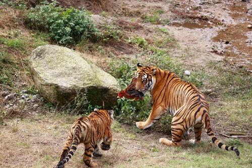 Especies al borde de la extinción: tigre del sur de China