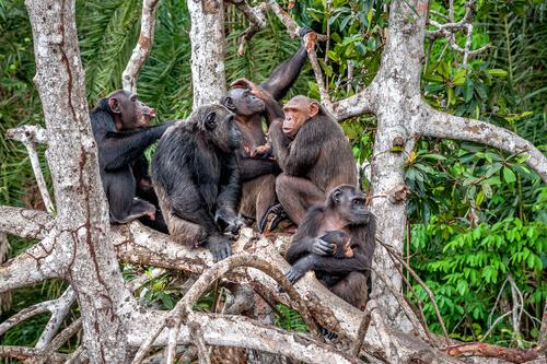 Estudios sobre los chimpancés