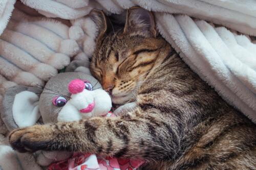 Etapas del sueño en los gatos