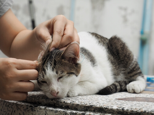 Hematoma del oído en gatos