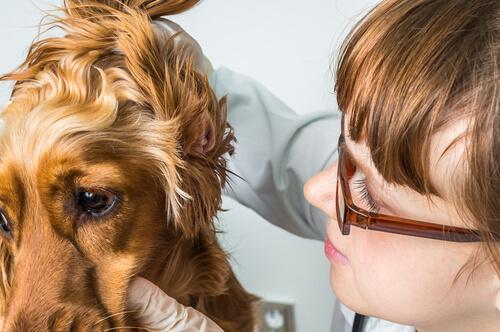 Hematoma del oído en gatos y perros