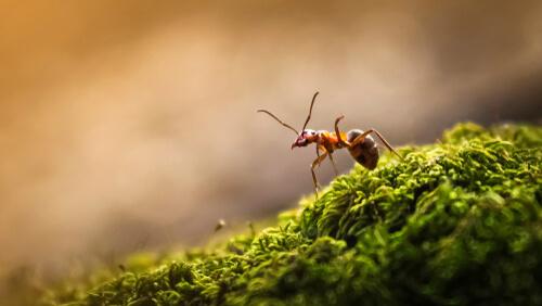 Hormiga en una eusociedad
