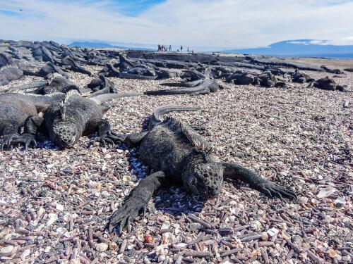 Iguana marina: características