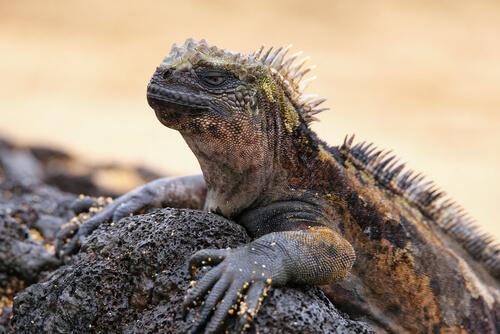 La iguana marina regia de los Galápagos