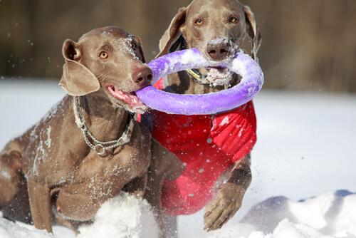 Juguetes que más les gustan a los perros: disco