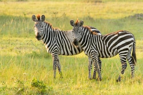 Cebra de llanuras: características y hábitat