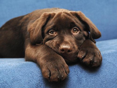 Labrador chocolate vive menos