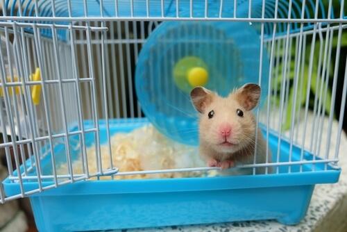4 consejos para limpiar la jaula de un hámster