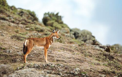 Los últimos lobos etíopes