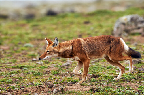 Lobo etíope en peligro de extinción