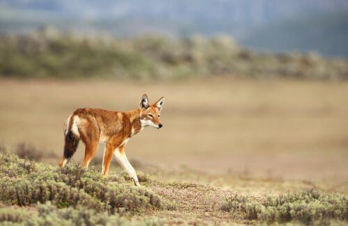 Lobo etíope: hábitat