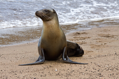 Lobo marino de las Galápagos (Arctocephalus galapagoensis)