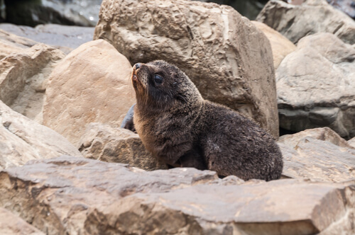 Lobo marino de Nueva Zelanda (Arctophoca fosteri)