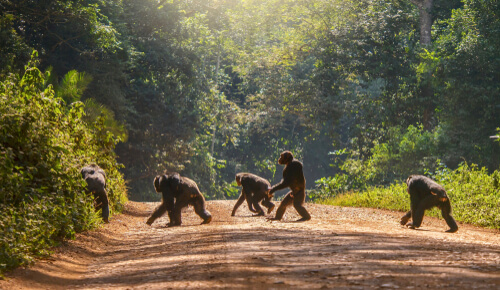 Los chimpancés tienen culturas que están desapareciendo