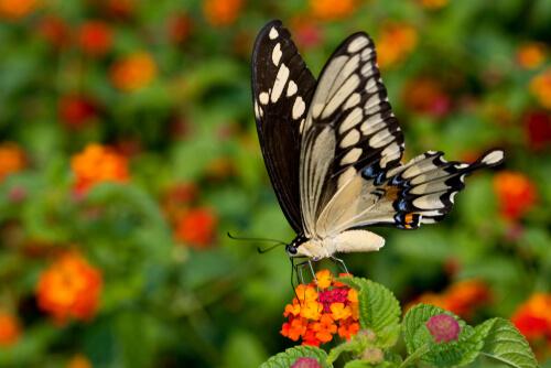 La mariposa cola de golondrina: las más grandes y exóticas