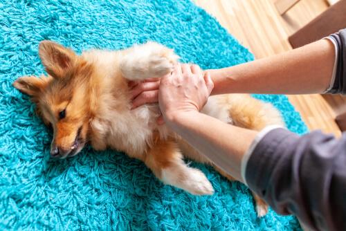 ¿Cómo hacer un masaje cardíaco a un perro?