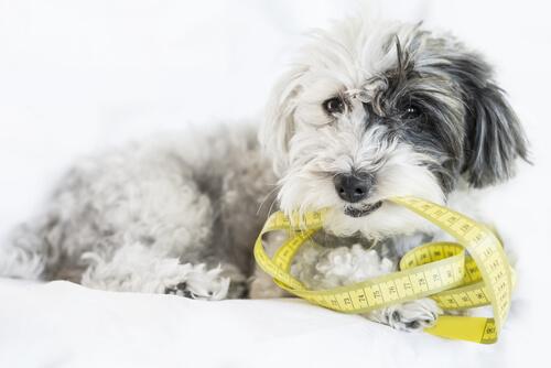 ¿Cómo tomar las medidas de mi perro?