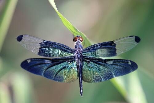 Conoce la metamorfosis de la libélula