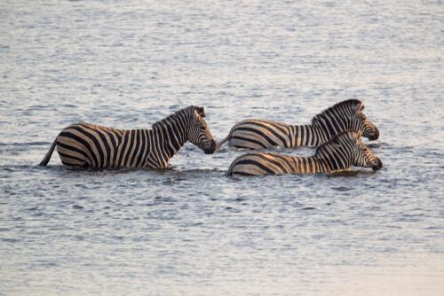 Migración de las cebras