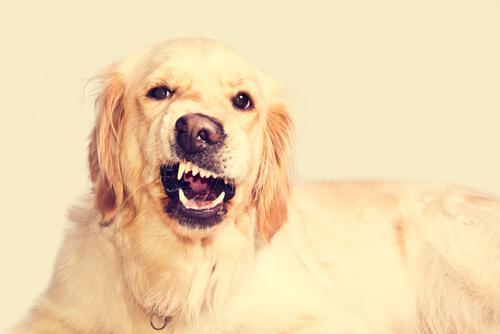 Лечение зубного дискомфорта у собаки