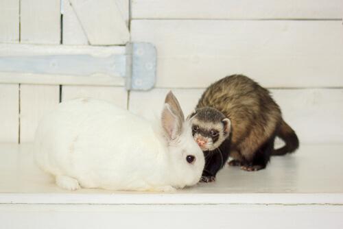 ¿Cómo se produce la muda en conejos y hurones?
