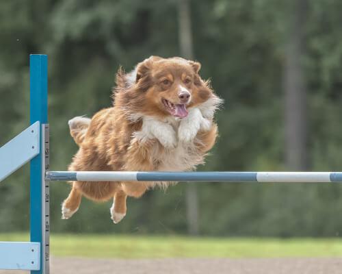 Agilidad canina: entrenamiento y nutrición