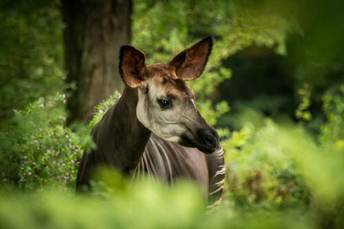 El milenario okapi