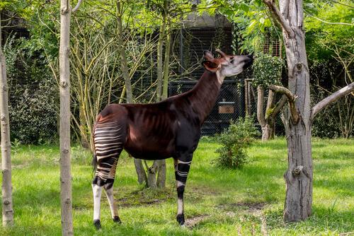 Okapi en peligro de extinción