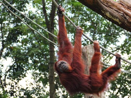 Orangután de Sumatra: alimentación