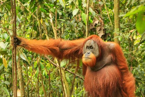 Orangután de Sumatra en peligro de extinción