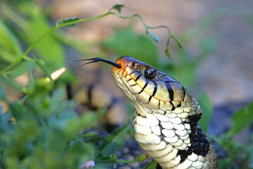El órgano vomeronasal de las serpientes