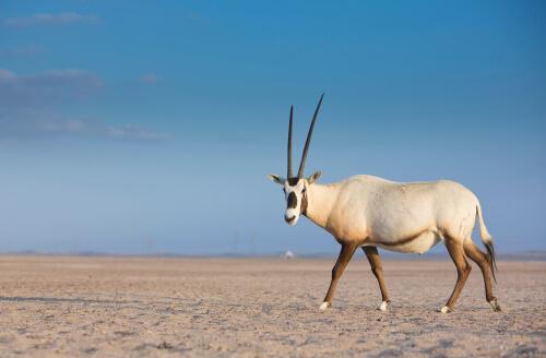 Reproducción y conservación del órice de Arabia