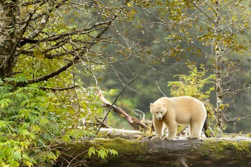 Медведь кермод, дух леса