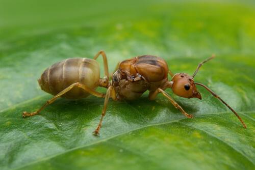 Papel de la hormiga reina