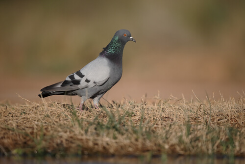 Rock doves are the most common of all doves and pigeons in Spain.