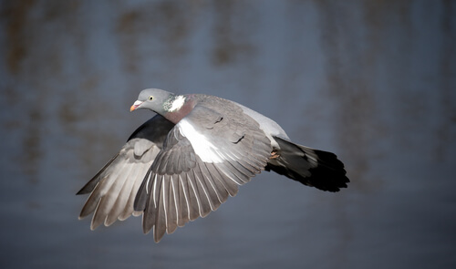 A wood pigeon in flight.